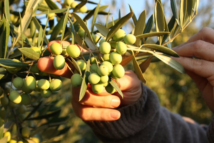 Koroneiki Olive Variety The Queen Of